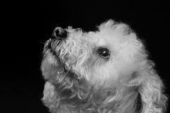 Bichon Royalty Free Stock Images