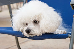 Bichon on a blue chair Royalty Free Stock Images