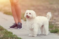 Bichon bolognese dog with beautiful in the park. Bichon bolognese dog with beautiful owner in the park royalty free stock images