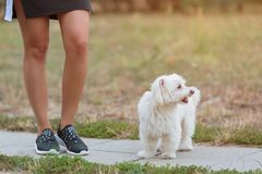 Bichon bolognese dog with beautiful in the park. Bichon bolognese dog with beautiful owner in the park royalty free stock photo