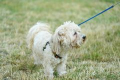 Bichon bolognese dog in geen. Bichon bolognese dog in the park royalty free stock photos