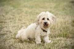 Bichon bolognese dog in geen. Bichon bolognese dog in the park Royalty Free Stock Image