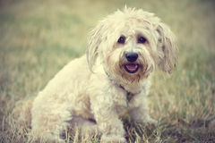 Bichon bolognese dog in geen. Bichon bolognese dog in the park royalty free stock images