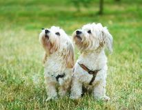 Bichon bolognese dog in geen. Bichon bolognese dog in the park stock photo