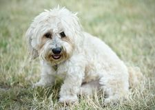 Bichon bolognese dog in geen. Bichon bolognese dog in the park stock images