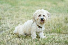 Bichon bolognese dog in geen. Bichon bolognese dog in the park royalty free stock photography