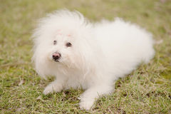 Bichon bolognese dog in park. Bichon bolognese dog in the park royalty free stock photos