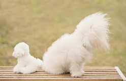 Bichon bolognese dog in park. Bichon bolognese dog in the park royalty free stock photo