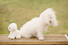 Bichon bolognese dog in park. Bichon bolognese dog in the park stock photography