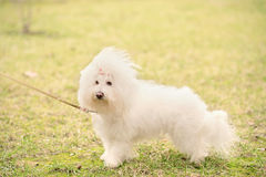 Bichon bolognese dog in park. Bichon bolognese dog in the park stock photos