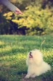 Bichon bolognese dog. Play with owner in park royalty free stock photos