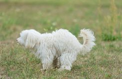 Bichon bolognese dog poops in the park. White Bichon bolognese dog poops in the park royalty free stock photo