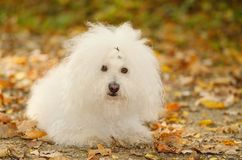 Bichon bolognese dog relax in park Royalty Free Stock Photos