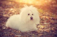 Bichon bolognese dog relax in park. Bichon bolognese dog relax in the park royalty free stock image