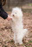 Bichon bolognese play with owner Stock Photography