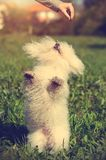 Bichon bolognese play in the park Royalty Free Stock Image