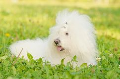 Bichon bolognese relax in the park Stock Photography