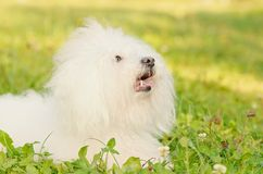 Bichon bolognese relax in the park at sunset Royalty Free Stock Photography