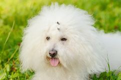 Bichon bolognese relax in the park at sunset Royalty Free Stock Image