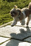 Bichon bomull de Tulear Hund royaltyfri fotografi