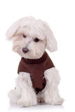 Bichon curieux maltais Photo stock