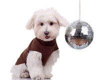 Bichon and disco ball Royalty Free Stock Image