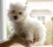 Bichon dog. Toy-puppy bichon on woman hand Stock Photography