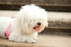 Bichon dog Stock Photos