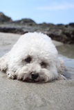 Bichon dog on beach Royalty Free Stock Photography