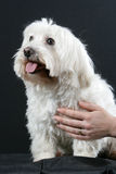 Bichon Dog Royalty Free Stock Photography