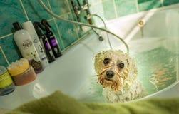 Dog Taking A Bath In A Bathtub. Bichon dog taking a bath in a bathtub royalty free stock images