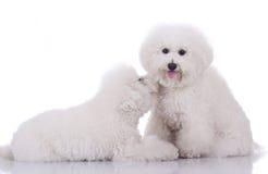 bichon dogs frise lyckliga två Royaltyfri Fotografi