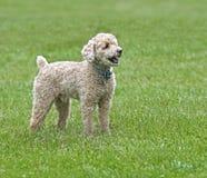 Bichon/för pudel blandad avelhund royaltyfri fotografi