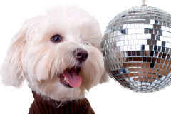 Bichon face near a shinny disco ball Royalty Free Stock Image