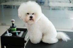 Bichon Fries at a dog grooming salon.  royalty free stock photos