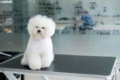 Bichon Fries at a dog grooming salon.  royalty free stock photo