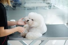 Bichon Fries at a dog grooming salon.  stock photography