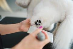 Bichon Fries at a dog grooming salon.  royalty free stock image
