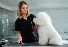 Bichon Fries at a dog grooming salon.  stock image