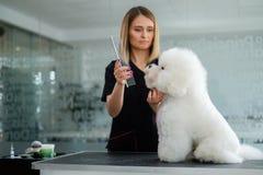 Bichon Fries at a dog grooming salon.  stock photos