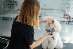 Bichon Fries at a dog grooming salon.  royalty free stock images
