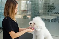 Bichon Fries at a dog grooming salon.  stock images