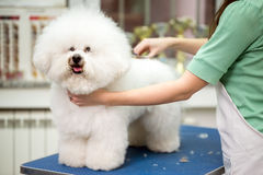 Bichon Fries grooming. With scissors royalty free stock photo