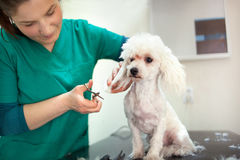 Bichon Fries grooming with scissors. Small beautiful and adorable white bichon frise dog being groomed by a professional groomer Royalty Free Stock Photos