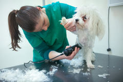 Bichon Fries grooming with trimmer. White bichon frise dog being groomed by a professional groomer Royalty Free Stock Photography