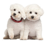 Bichon Fris�©, 9 and 7 years old Royalty Free Stock Photo