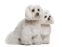 Bichon frisé and a Maltese Stock Images