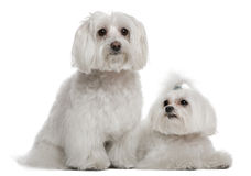 Bichon frisé and a Maltese. 7 years and 3 years old, in front of white background Royalty Free Stock Photos