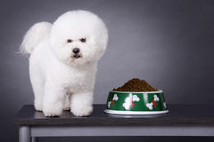 Bichon Frise. A white Bichon Frise with food Stock Photography