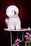 Bichon Frise. A white Bichon Frise focus at something Stock Photo